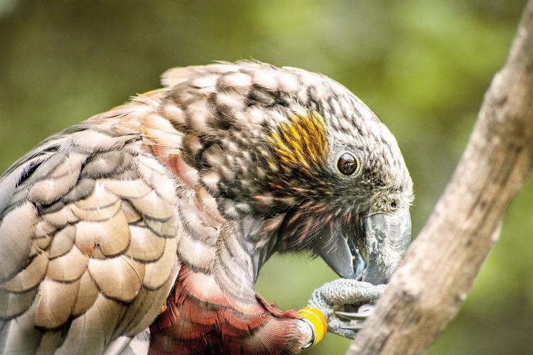 Kaka Brown Parrot in New Zealand