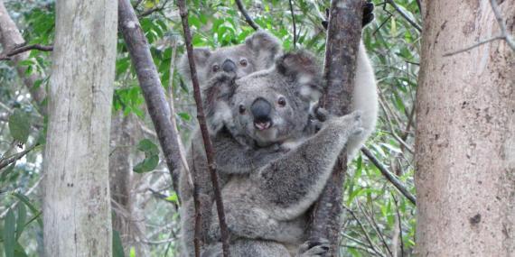 Koala in Australia