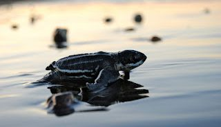 Leatherback baby turtle hatchling