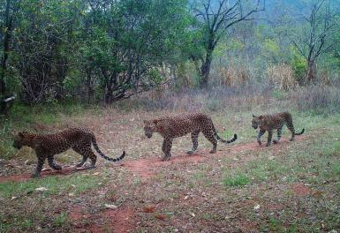Leopards in Sri Lanka