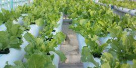 Eco garden growing lettuce in Maldives