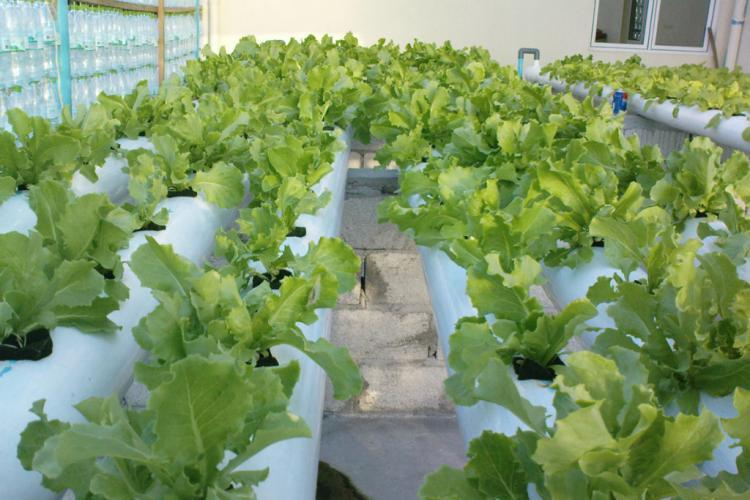 Eco garden growing lettuce in Maldives