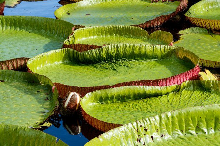 Lily pads Mauritius botanical garden