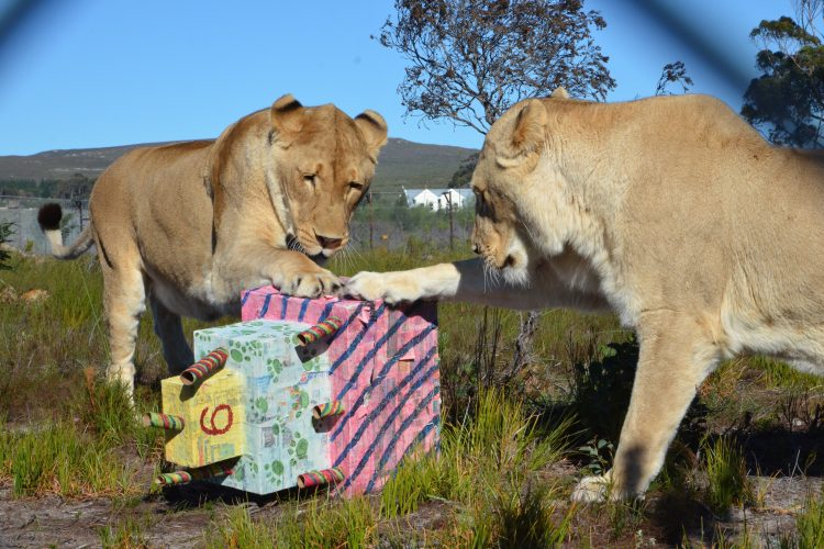 Lions playing in big cat sanctuary