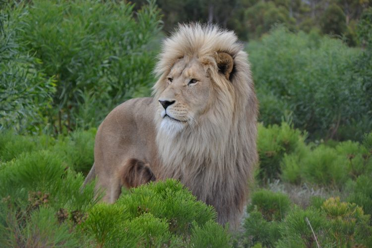 Lion in foliage in South Africa