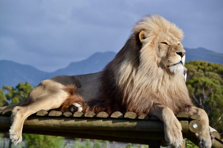 White lion relaxing at sanctuary