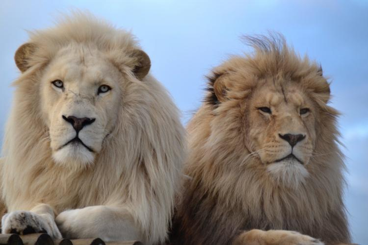 White lions at the sanctuary