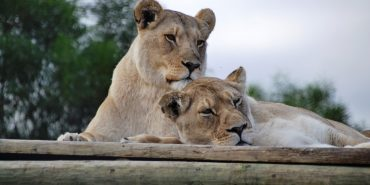 White lions at sanctuary in South Africa