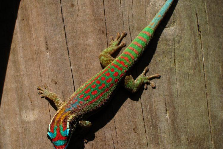 Lizard in Mauritius