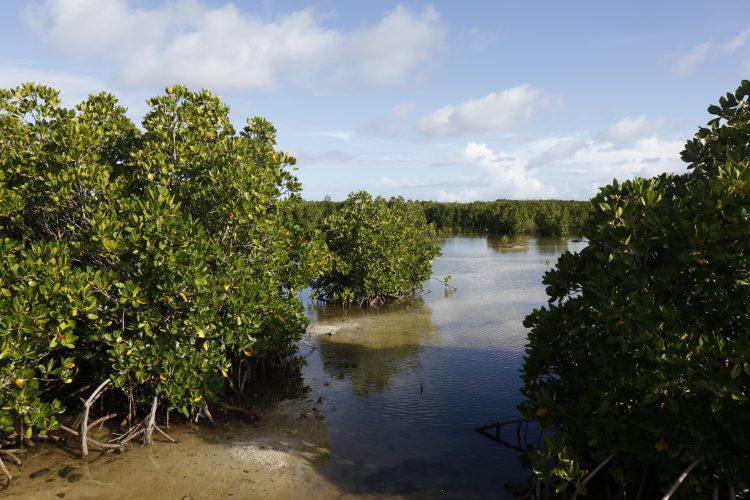 Mangrove restoration in Mauritius