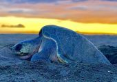 Olive Ridley Sea Turtle Volunteer Programme, Costa Rica