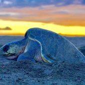 Olive Ridley Sea Turtle Volunteer Programme, Costa Rica