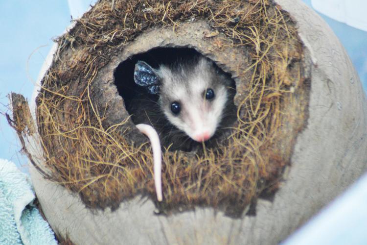 Opossum in a coconut in Costa Rica