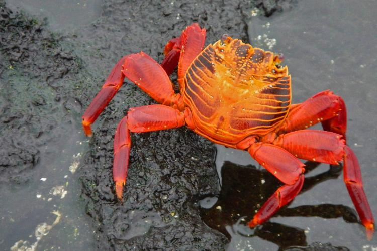 Orange crab in Galapagos