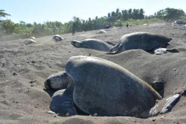 Olive ridley turtles nesting in Arribada