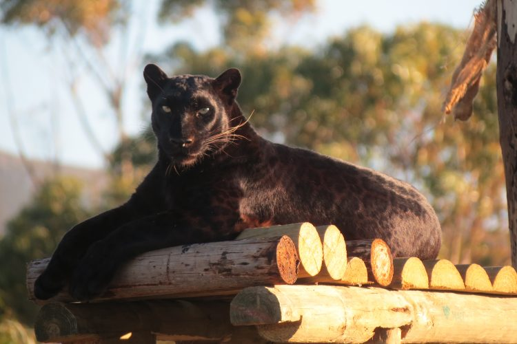 Black panther resting at sanctuary