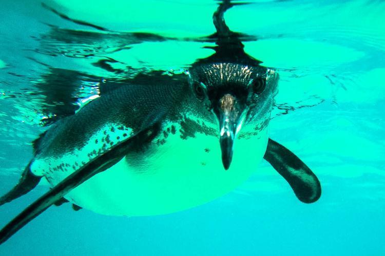 Galapagos penguin swimming underwater