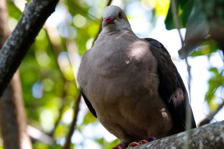 Pink pigeon in Mauritius