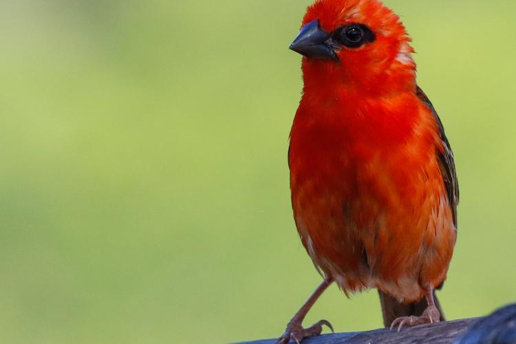 Red foddy bird in Mauritius