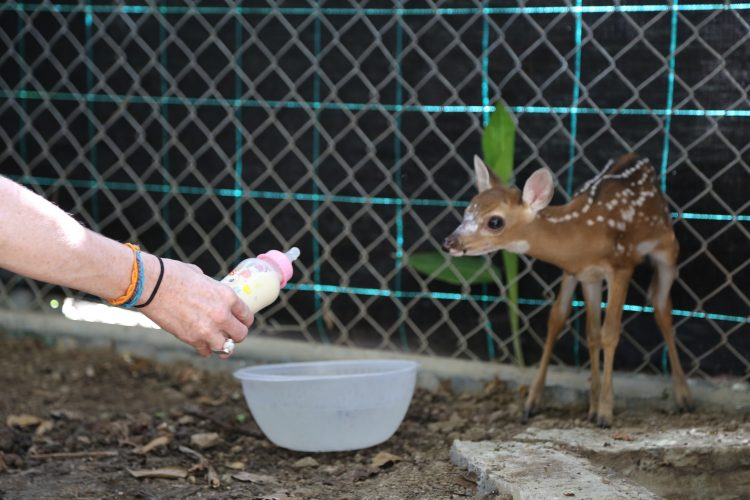 Rescued deer at wildlife rescue centre Costa Rica