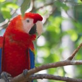 Wildlife Rescue Macaw Conservation Volunteering, Costa Rica