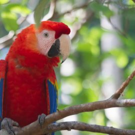 Rescued scarlet macaw