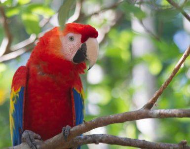 Rescued scarlet macaw