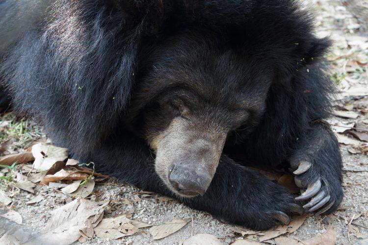 Resting moon bear