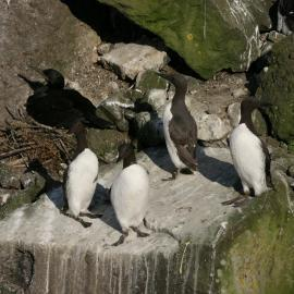 Guillemots and shag on the nest in Scotland