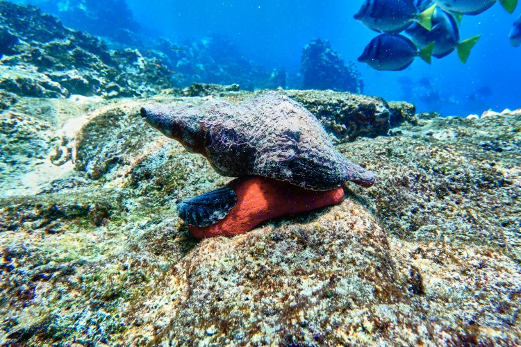 Galapagos sea snail