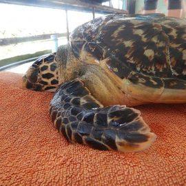 Sea turtle at rehabilitation centre in Maldives