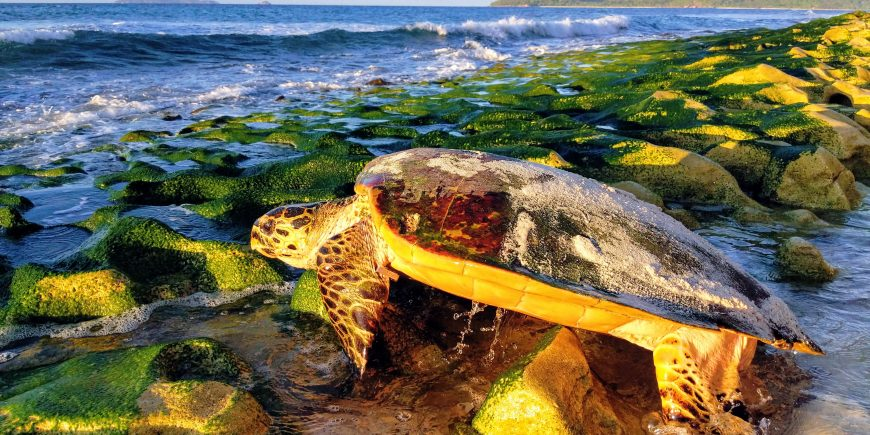 Sea turtle heading to sea
