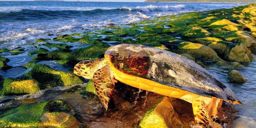Sea turtle heading to sea
