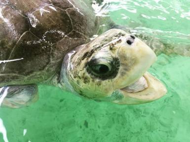 Sea turtle opening its mouth