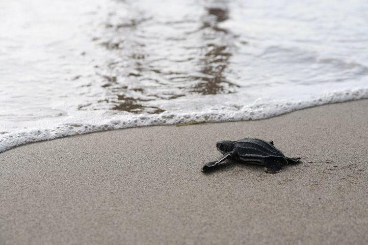 Baby sea turtle on beach in St Eustatius