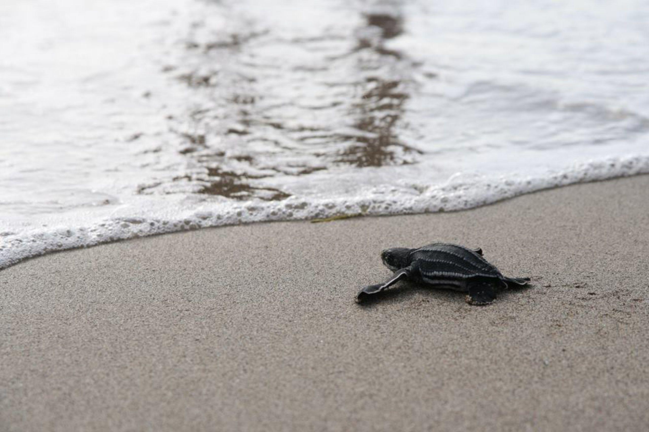 Statia Sea Turtle Volunteer Programme, St. Eustatius