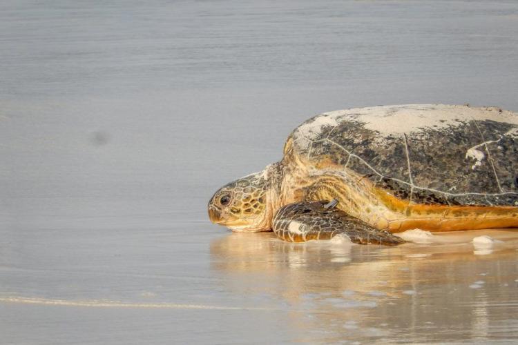 Sea turtle on the beach in Kenya
