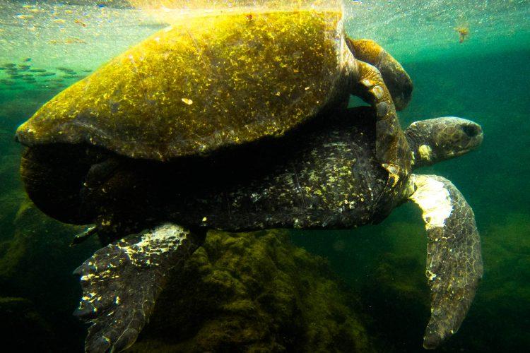 Galapagos sea turtle swimming