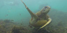 Sea turtle underwater in Galapagos