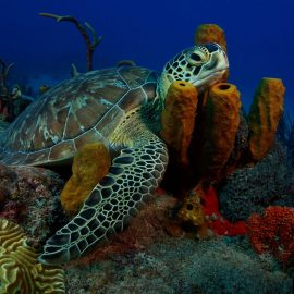 Sea turtle swimming in coral in St Eustatius