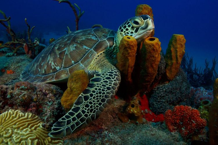 Sea turtle swimming in coral in St Eustatius