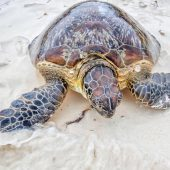 Watamu Sea Turtle Volunteer Project, Kenya