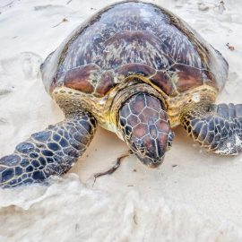 Sea turtle on the beach in Kenya