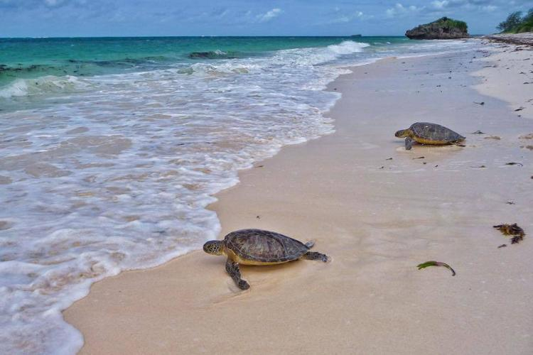 Sea turtles crawling to the ocean