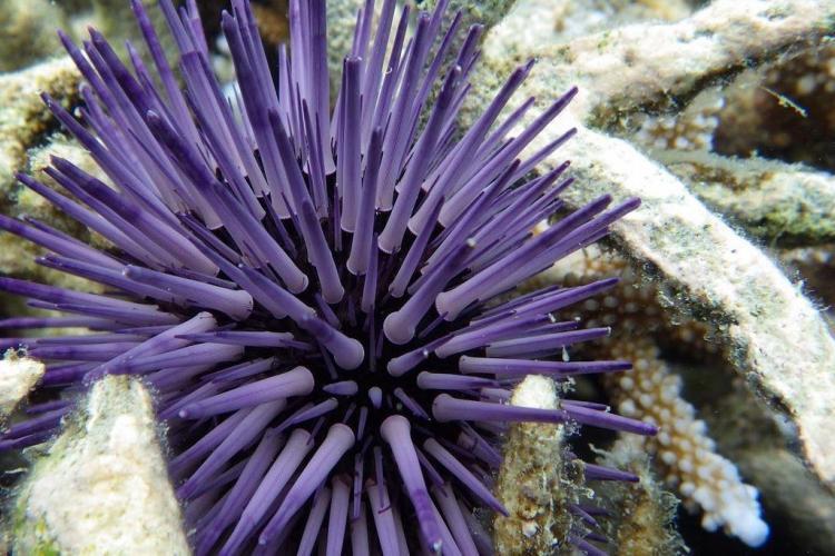 Sea urchin in Mauritius
