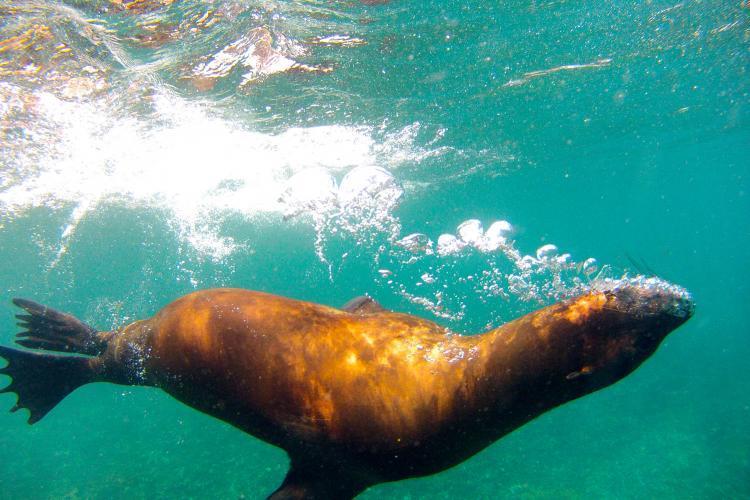 Seal swimming in Galapagos