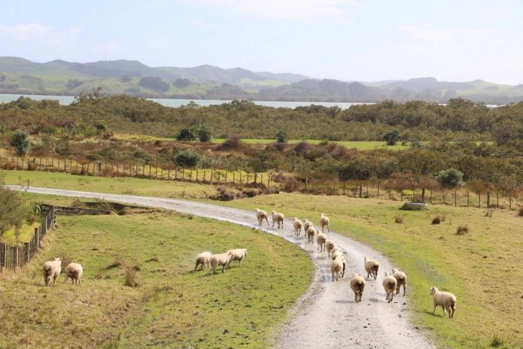 Sheep walking in New Zealand
