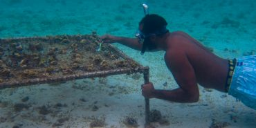 Coral gardening in Mauritius