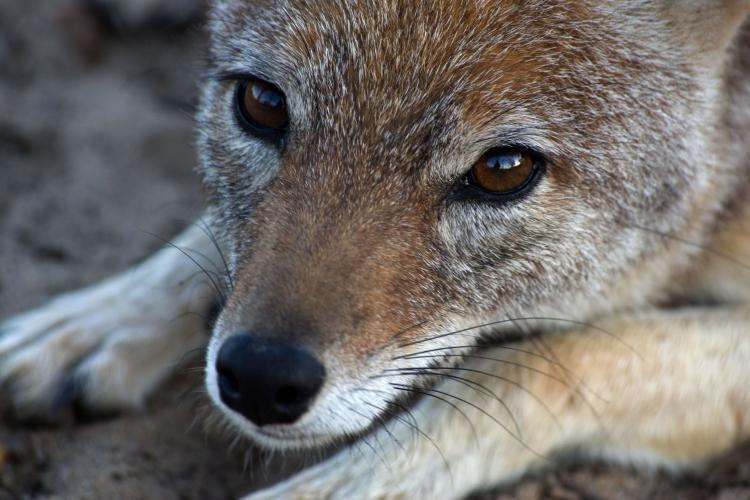 Fox closeup