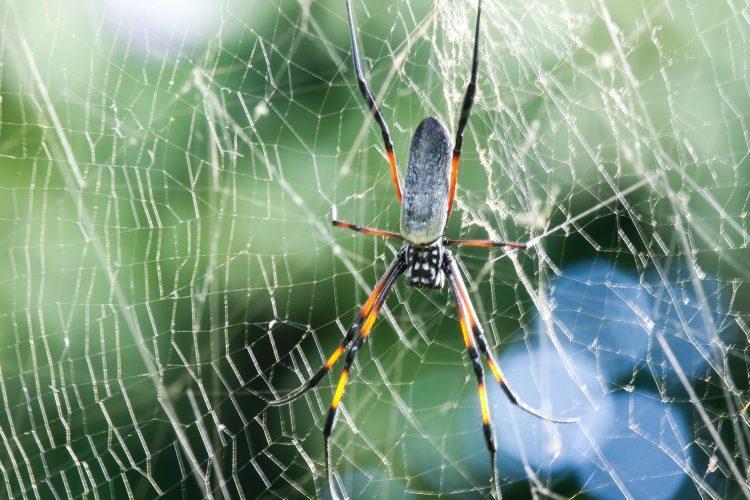 Spider in Mauritius